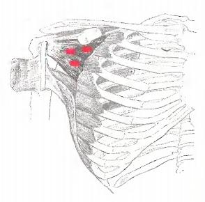 подлопаточная мышца