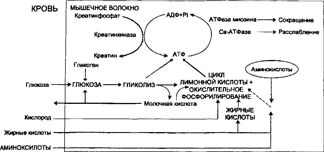 Нагрузка Физическая Изотоническая