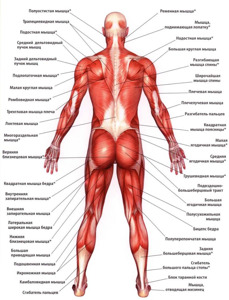 Мышца подколенная