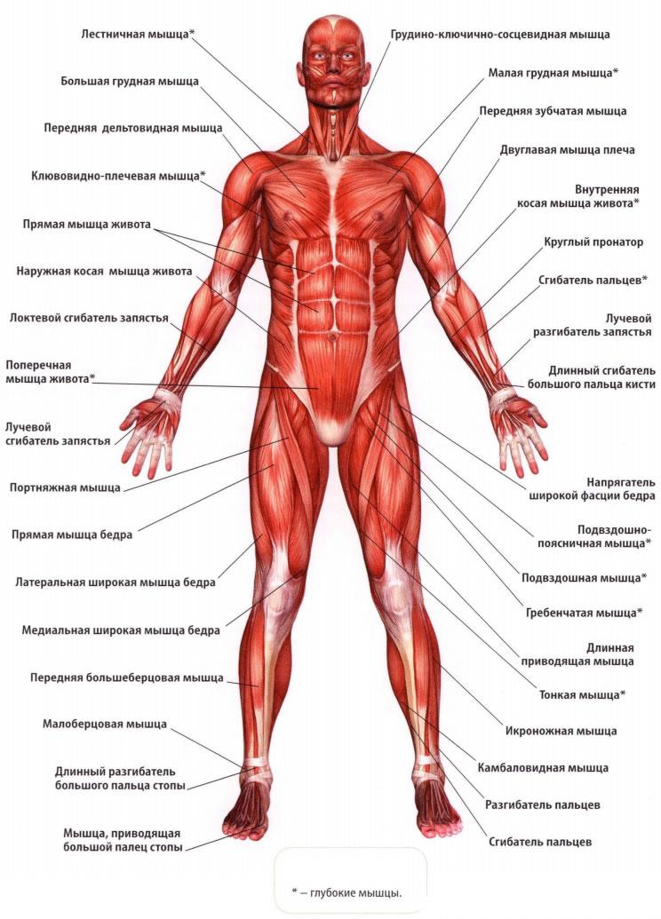 Анатомия человека мышцы в картинках с описаниями реферат